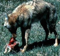Coyotesm