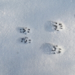 Mammal tracks in snow