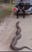 Python is an invasive species in the U.S. that is threatening the wildlife in the Everglades.
