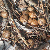 Rabbit droppings about the size of a dime, larger due to water penetration and subsequent expansion in snow.