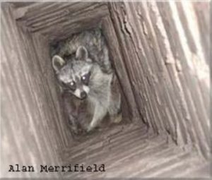 Photo of a raccoon in a chimney is courtesy of Alan Merrifield.