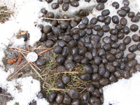 Elk droppings with US nickel for size.