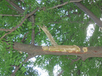 Bark stripping by Fox squirrel