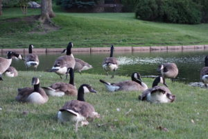 Geese at community pond can reduce water quality.