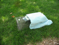 Properly covered springloaded skunk trap.