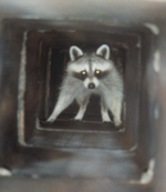 Raccoon in a chimney