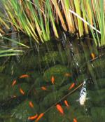 Coy pond. Photo by Stephen Vantassel