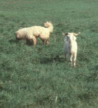 guard dog for sheep