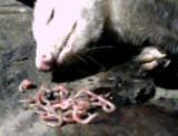 Opossum with worms