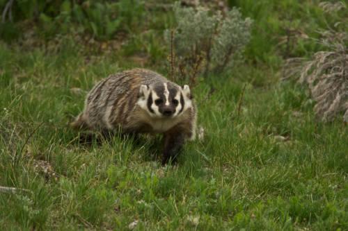 badger walking trhough grasssy area