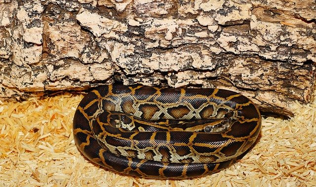 Coiled Burmese python.