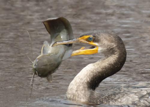 Cormorant with fish in bill.