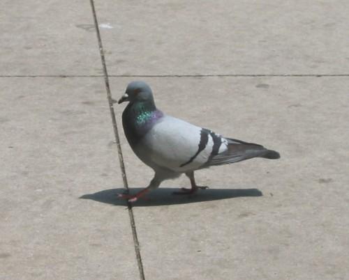 Pigeon on concrete patio