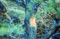 bark damage porcupine