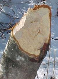 beaver gnawing