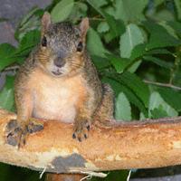 Fox squirrel bark stripping. Photo by Erin Bauer