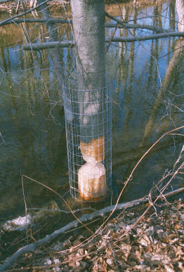 wire installed after beaver damage occurred
